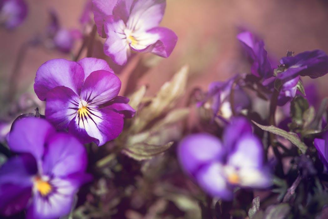 Små blommor från viol